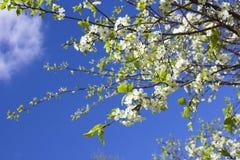 Cherry tree blossom close-up Stock Photos