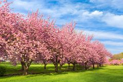 Cherry tree blossom explosion. On a sunny April morning, in Hurd Park, Dover, New Jersey stock image