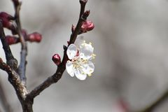 Cherry tree blossom flower - blooming cherry tree stock image