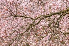Cherry tree blossom Royalty Free Stock Photos