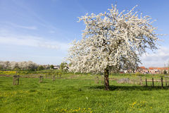 Cherry tree in blossom, Haspengouw, Belgium Royalty Free Stock Image