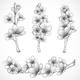 Cherry Tree Blossom Illustrazione disegnata a mano in bianco e nero d'annata di vettore nello stile di schizzo Immagine Stock Libera da Diritti