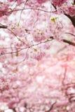 Cherry tree blossom. Image of cherry tree blossom. Shallow depth of field stock photo