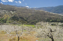 Cherry tree blossom. Jerte Valley, Spain Royalty Free Stock Images