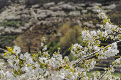 Cherry tree blossom. Jerte Valley, Spain Stock Images