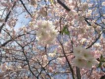 Cherry Tree Blossom. Stock Photo