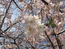 Cherry Tree Blossom. Royalty Free Stock Photo