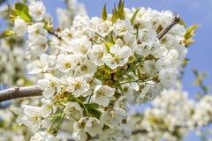 Cherry tree blossom in may Royalty Free Stock Photos