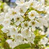 Cherry tree blossom Stock Photo