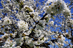 Cherry tree blossom. Natural background Stock Image
