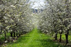Cherry tree blossom orchard with grass path, Czech landscape.  royalty free stock photography