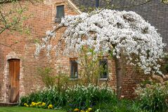 Cherry tree in blossom outside the old barn at Eastcote House Gardens in the Borough of Hillingdon, London, UK.