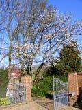 Cherry tree blossom over garden driveway Stock Image