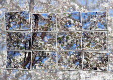 Cherry tree blossom over sky Royalty Free Stock Photography