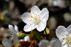 Cherry tree in blossom Stock Images