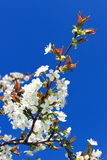 Cherry tree in blossom Royalty Free Stock Photography