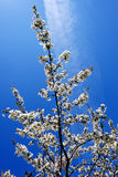 Cherry tree in blossom Stock Photography