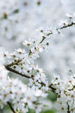 Cherry tree in blossom Royalty Free Stock Image