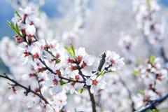 Cherry tree in blossom Royalty Free Stock Photos