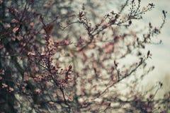 Cherry Tree Blossom Royalty Free Stock Image