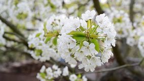 Cherry tree blossom in spring. Close-up of blossoming white cherry tree flowers blown by breeze in spring. Cerasus avium stock video