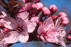 Cherry tree blossom Stock Photo