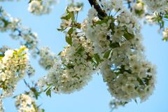 Cherry tree blossom, spring season in fruit orchards in Haspengouw agricultural region in Belgium, close up. Cherry tree blossom, spring season in fruit orchards royalty free stock photo