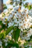 Cherry tree blossom, spring season in fruit orchards in Haspengouw agricultural region in Belgium, close up. Cherry tree blossom, spring season in fruit orchards stock image