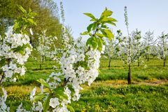 Cherry tree blossom, spring season in fruit orchards in Haspengouw agricultural region in Belgium, close up. Cherry tree blossom, spring season in fruit orchards royalty free stock image