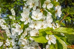Cherry tree blossom, spring season in fruit orchards in Haspengouw agricultural region in Belgium, close up. Cherry tree blossom, spring season in fruit orchards royalty free stock photos