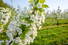 Cherry tree blossom, spring season in fruit orchards in Haspengouw agricultural region in Belgium, close up. Cherry tree blossom, spring season in fruit orchards stock images