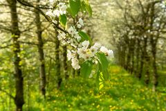 Cherry tree blossom, spring season in fruit orchards in Haspengouw agricultural region in Belgium, close up. Cherry tree blossom, spring season in fruit orchards royalty free stock photography
