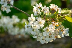 Cherry tree blossom, spring season in fruit orchards in Haspengouw agricultural region in Belgium, close up. Cherry tree blossom, spring season in fruit orchards stock photography