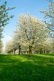 Cherry tree blossom, spring season in fruit orchards in Haspengouw agricultural region in Belgium, landscape. In nature royalty free stock image