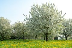 Cherry tree blossom, spring season in fruit orchards in Haspengouw agricultural region in Belgium, landscape. Cherry tree blossom, spring season in fruit stock photography