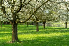 Cherry tree blossom, spring season in fruit orchards in Haspengouw agricultural region in Belgium, landscape. Cherry tree blossom, spring season in fruit royalty free stock photography
