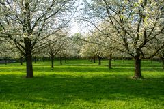 Cherry tree blossom, spring season in fruit orchards in Haspengouw agricultural region in Belgium, landscape. Cherry tree blossom, spring season in fruit royalty free stock photo