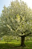 Cherry tree blossom, spring season in fruit orchards in Haspengouw agricultural region in Belgium, landscape. Cherry tree blossom, spring season in fruit stock photos