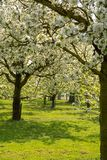 Cherry tree blossom, spring season in fruit orchards in Haspengouw agricultural region in Belgium, landscape. Cherry tree blossom, spring season in fruit royalty free stock image