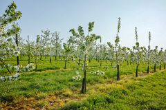 Cherry tree blossom, spring season in fruit orchards in Haspengouw agricultural region in Belgium, landscape. Cherry tree blossom, spring season in fruit royalty free stock photos