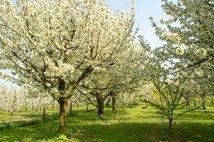 Cherry tree blossom, spring season in fruit orchards in Haspengouw agricultural region in Belgium, landscape. Cherry tree blossom, spring season in fruit royalty free stock images