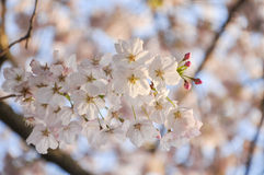 Cherry Tree blossom. In sunlight in spring Stock Photos