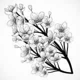 Cherry tree blossom. Vintage black and white hand drawn vector illustration in sketch style. Stock Images