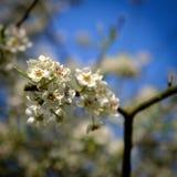 Cherry Tree Blossom. White Cherry Tree Blossom with Blue background stock photos
