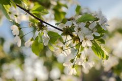 Cherry tree blossom. White flower on natural blue background. Cherry tree blossom on sky background close-up. White flower on natural blue background stock photography