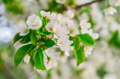 Cherry tree blossom Royalty Free Stock Images