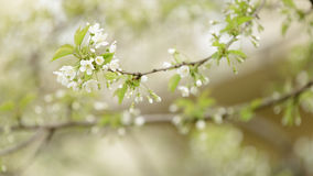 Cherry tree blossom with white flowers Royalty Free Stock Photo