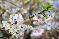 Cherry tree blossom, whiteflowers Royalty Free Stock Photo