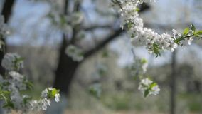 The cherry tree blossomed. With a lot of white flowers. They are beautifully swaying in the wind stock footage