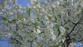 The cherry tree blossomed. With a lot of white flowers. They are beautifully swaying in the wind stock video